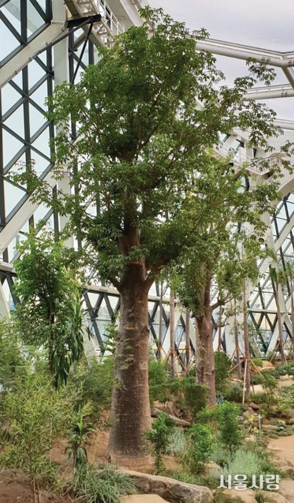 바오바브나무